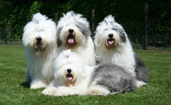 From left to right: Merlin, Texas, his sister Bandita and Texas daughter Ukkie
