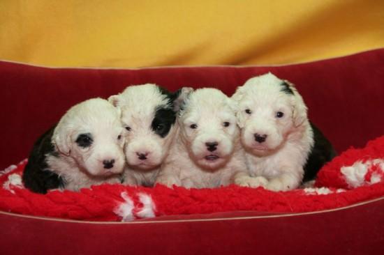 3-weeks-Pebbles-pups-female