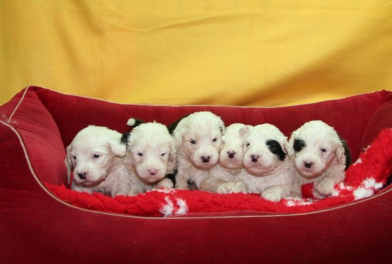 3-weeks-Pebbles-pups-male