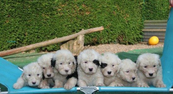 5-weeks-7-male-puppies