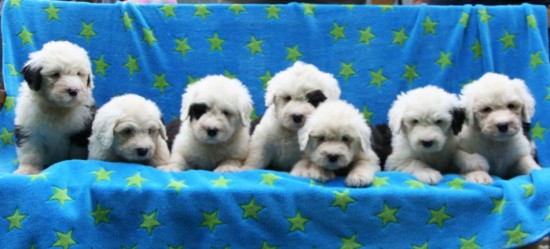 6-weeks-old-the-male-puppies
