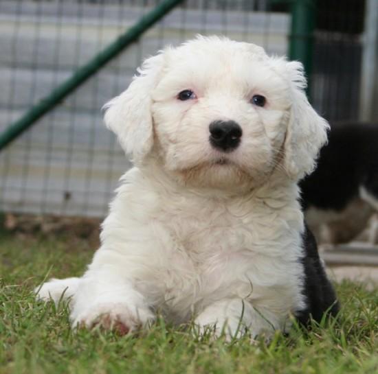 Litters: Pups Enco and Bandita are 8 weeks old - Knallerbse