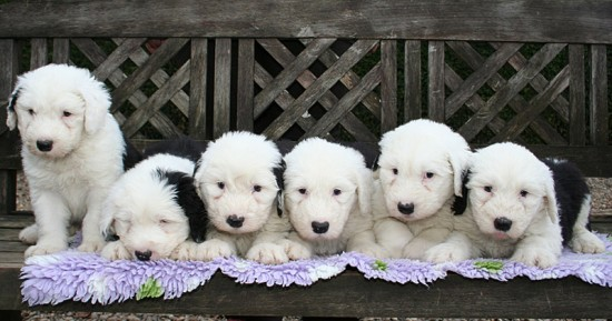 Litters: Pups Enco and Bandita are 6 weeks old - The boys