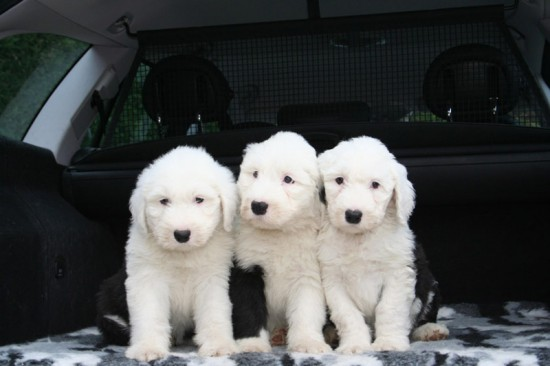 Litters: Pups Enco and Bandita are 7 weeks old - The girls