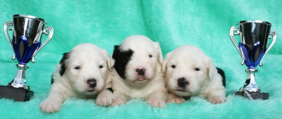 Litters: Pups Enco and Holly are 2 weeks old – The boys