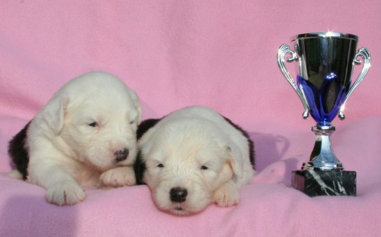 Litters: Pups Enco and Holly are 2 weeks old – The girls