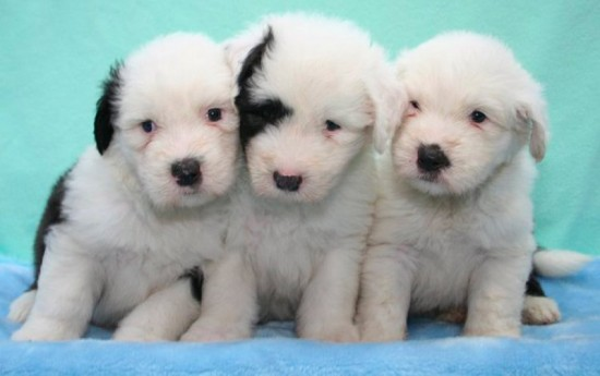 Litters: Pups Enco and Holly are 4 weeks old – The boys
