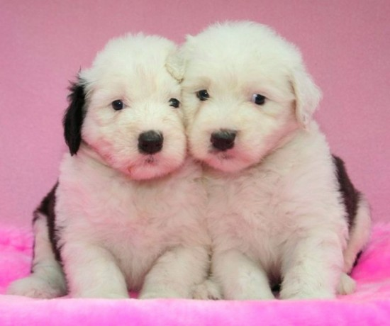 Litters: Pups Enco and Holly are 4 weeks old – The girls